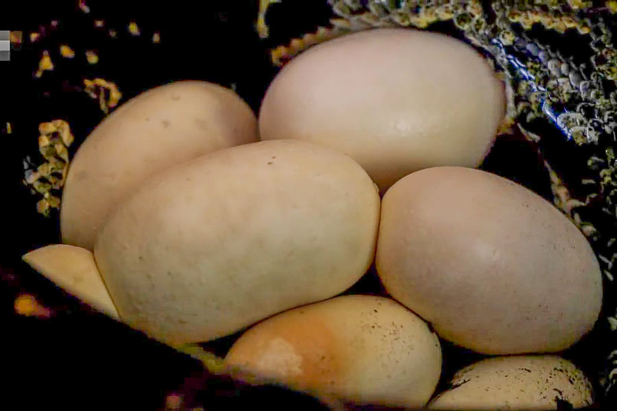 Яица-сетчатого-питона1