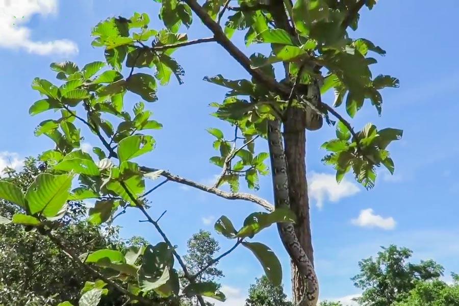Питон на дереве