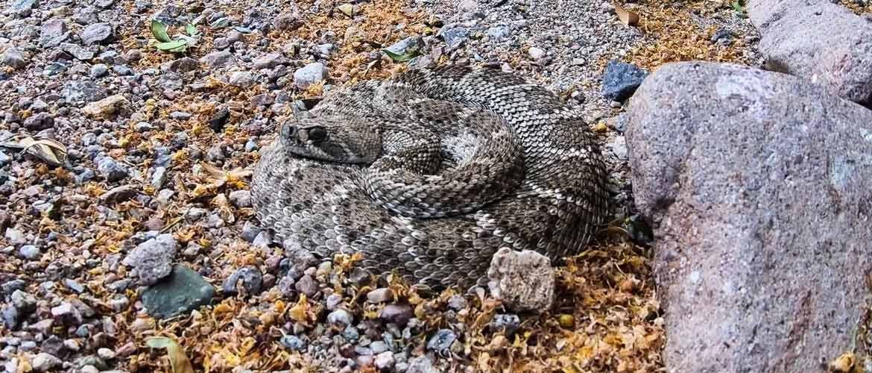 Змея в спячке