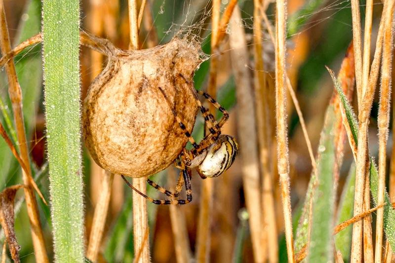 Кокон паука осы