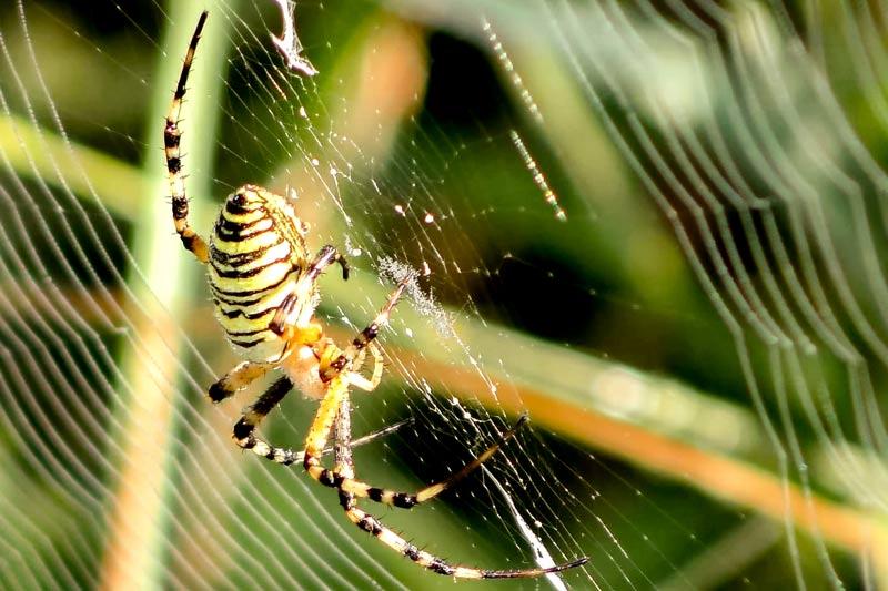 Самка паука осы, крупным планом