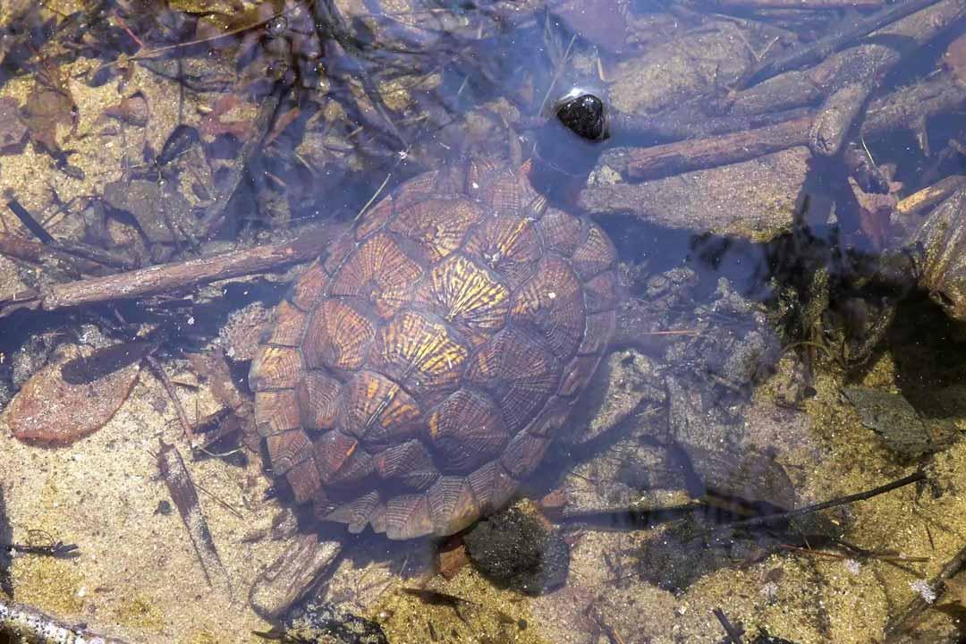 Каймановая черепаха на охоте