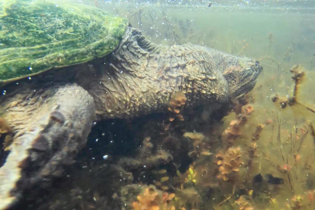 Каймановая черепаха в воде
