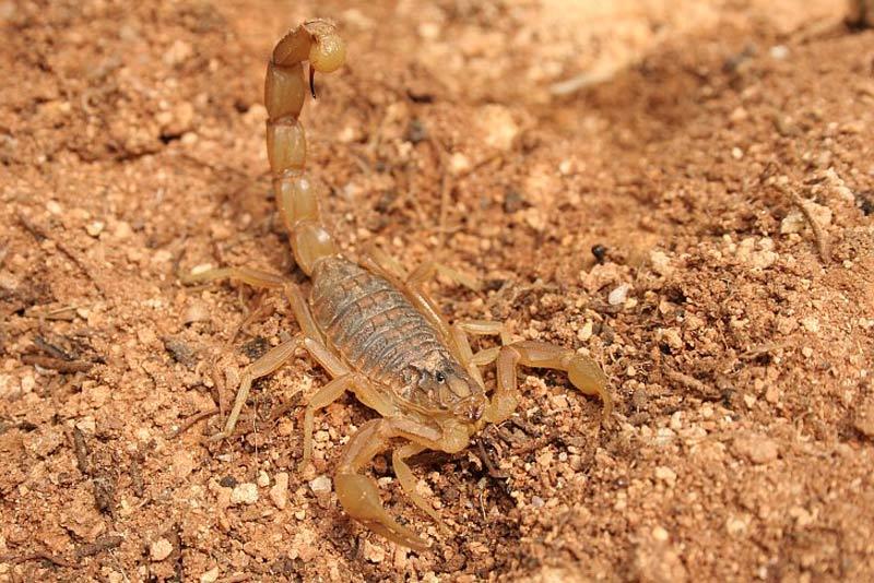 Скорпион средиземноморский