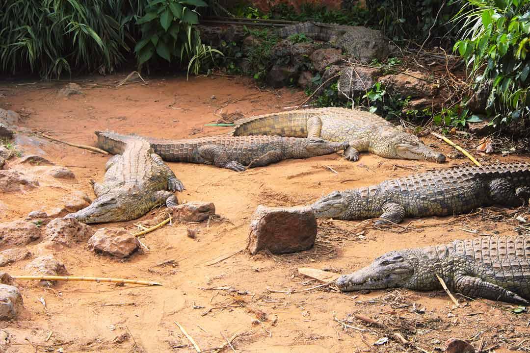 Крокодилы отдыхают на песке