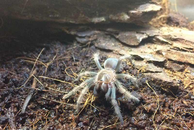 Маленький паук Brachypelma smithi 3-4 линька