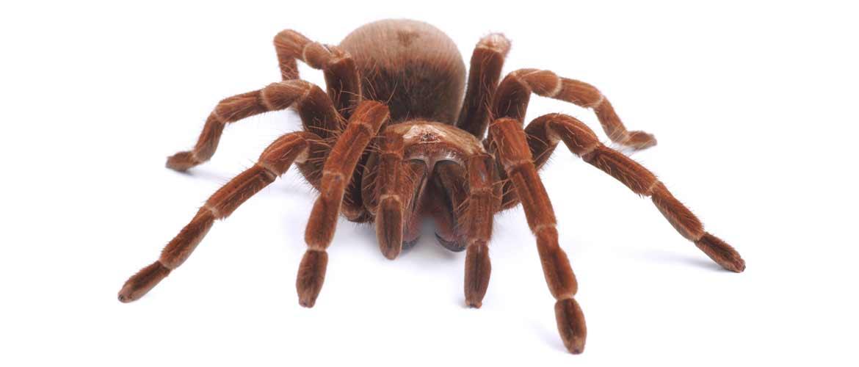 паук голиаф