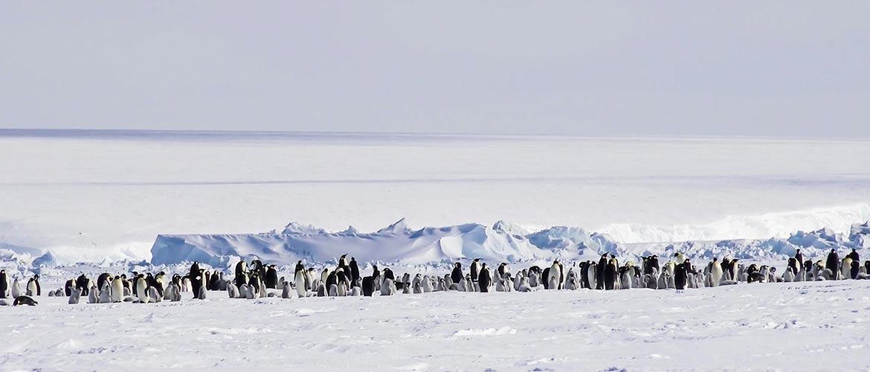 Колония самцов пингвинов