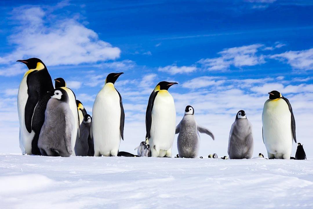 Группа императорских пингвинов