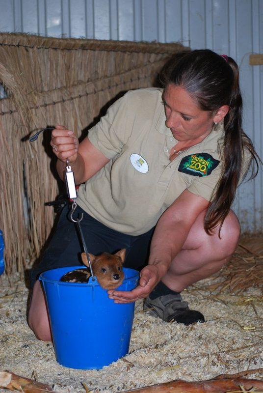 Новорожденный олененок